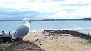 Seagull St Ives.jpg